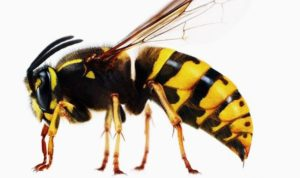 Facts about the Wasp